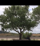 Quercus Agrifolia - California Live Oak Tree
